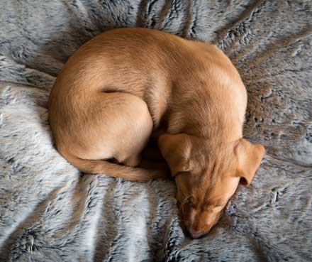 4 Popular Dog Sleep Positions The Best Beds To Support Them Petmate Pet Education